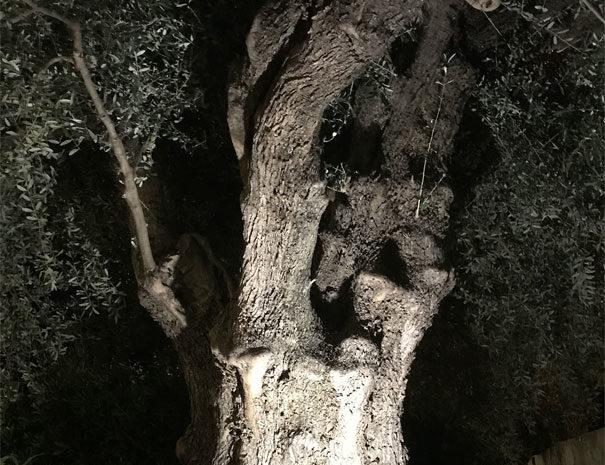 Olive tree | Villaggio Borgoverde Imperia